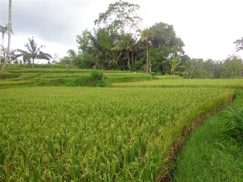 Land for sale in Ubud Bali with beautiful Rice fields view in Tegalalang ( LUB140S )