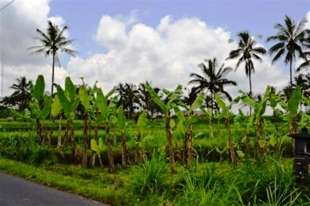 Land for sale in Ubud Bali 20 are at Payangan Buahan  ( LUB002S )