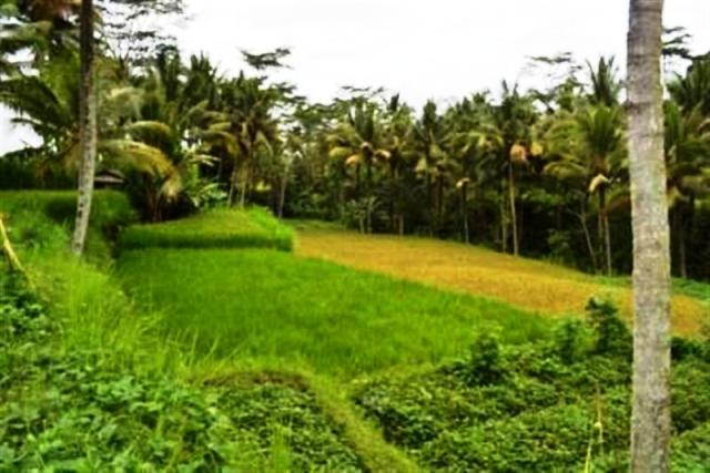 Land for sale in Ubud Bali located in Cagahan village ( LUB017S )