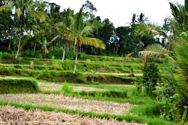 Land for sale in Ubud Bali with beautiful rice field view ( LUB041S )