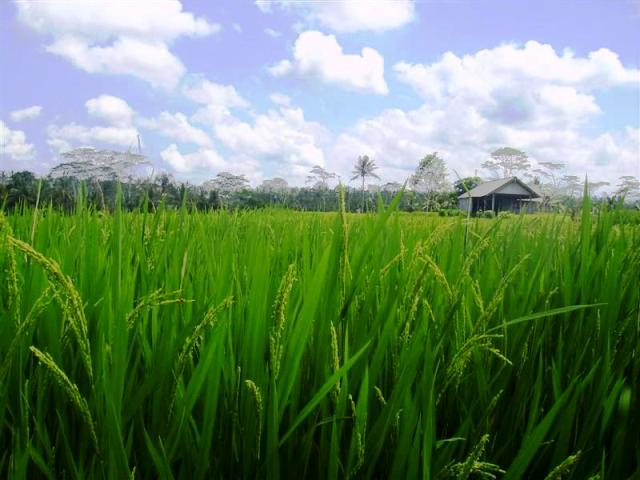 Land for sale in Ubud Bali Terraced rice field ( LUB077S )