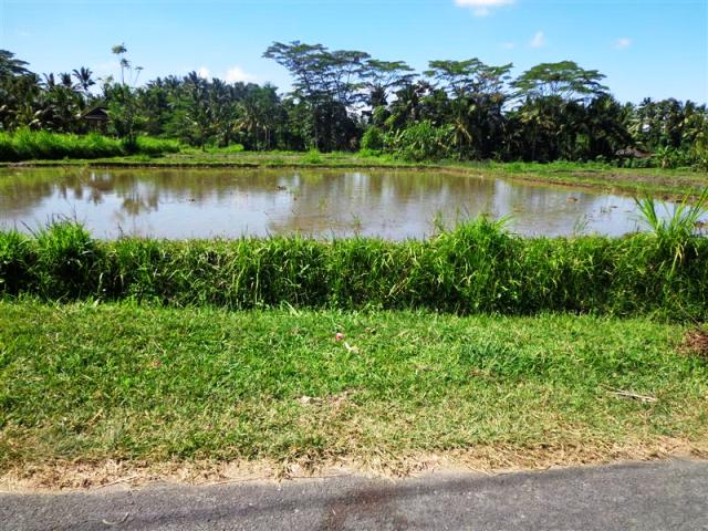 Road side land for sale in Ubud Bali with rice field view ( LUB092S )