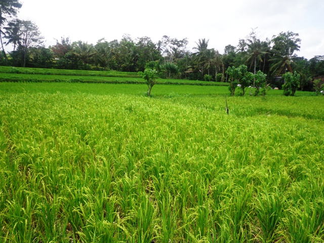 Land for sale in Ubud Bali Roadside Rice fields ( LUB120S )