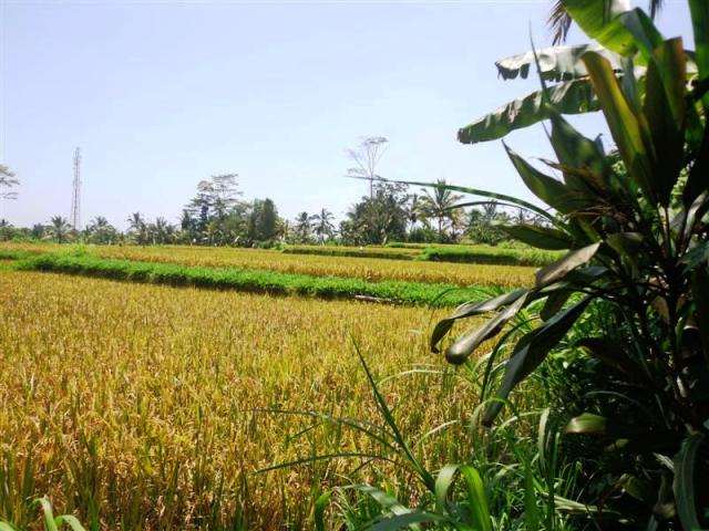 Land for sale in Ubud Bali Stunning rice field and river view ( LUB131S )