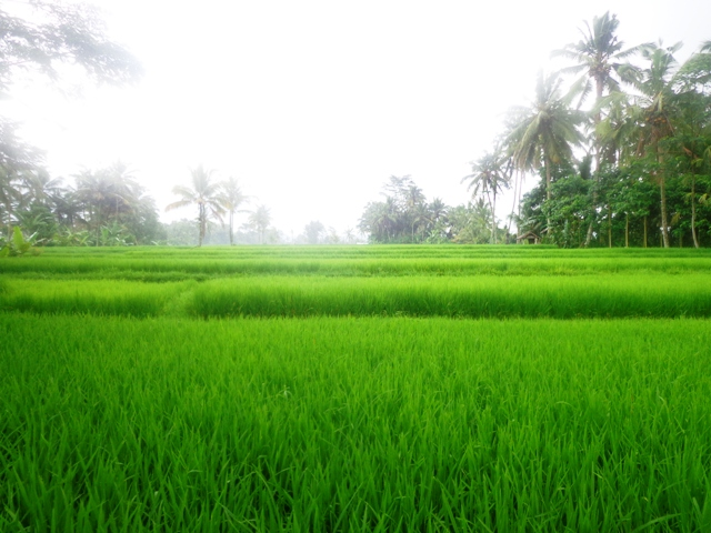 Land for sale in Ubud Bali 28 are Rice fields view in Tegalalang ( LUB149S )