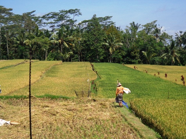 Land For Sale in Ubud Bali Amazing rice field and forest view ( LUB139S )