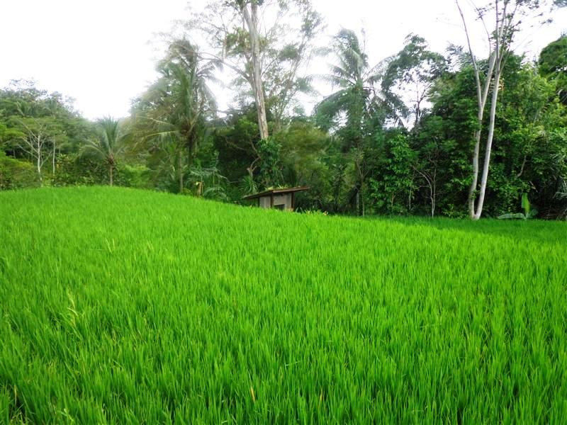 Land for sale in Ubud 31 Ares in with Mountain and rice paddy view